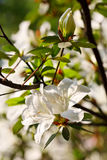 Blooming white Azalea Rhododendron 2 Royalty Free Stock Image