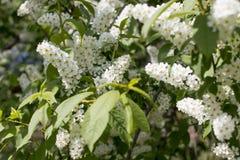 Blooming white bird cherry. Tree branch stock photo