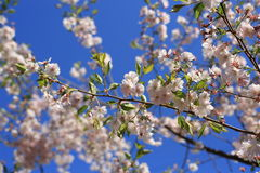 Blooming white cherry. On the background of blue sky Stock Images
