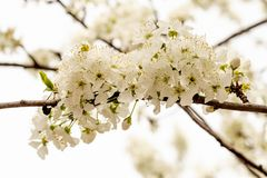 Blooming white cherry in spring garden stock photography
