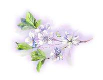 Blooming white cherry tree flowers-japanese sakura, watercolor Stock Photography