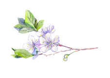 Blooming white cherry tree flowers, japanese sakura, watercolor Royalty Free Stock Photos