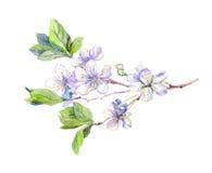 Blooming white cherry tree flowers, japanese sakura, watercolor Royalty Free Stock Images
