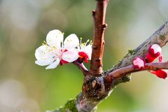 Blooming white tree in spring. Blooming white cherry tree in spring garden or orchards - springtime flowes stock photography