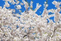 Blooming White Cherry Trees in Spring. Flushing Meadow Park New York in Spring with blooming Japanese cherry trees on a clear Spring day Stock Photo