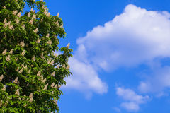 Blooming white chestnut Royalty Free Stock Photo