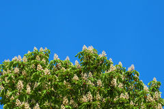 Blooming white chestnut Stock Photography