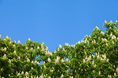 Blooming white chestnut Stock Photos
