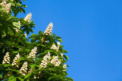 Blooming white chestnut. Against the blue sky with a cloud Royalty Free Stock Images