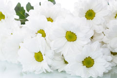 Blooming white chrysanthemums Stock Image