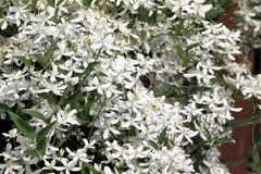 Blooming white clematis with butterfly Stock Image