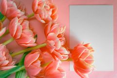Blooming white and coral tulips with lots of petals on a peach background. Place for text. Background for design. Living coral.  royalty free stock images