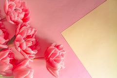 Blooming white and coral tulips with lots of petals on a coral and yellow background. Place for text. Background for design royalty free stock photos