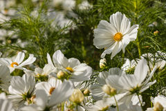 Blooming white cosmos flowers Royalty Free Stock Photography