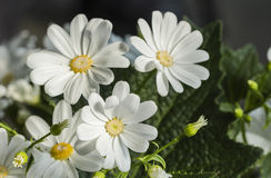 Blooming white cosmos Royalty Free Stock Photography