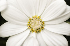 Blooming white cosmos Stock Photography