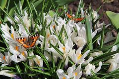 Blooming white crocus flowers and colorful butterfly Urticaria in the early spring. Russia stock photos