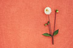 White dahlia on peach colored canvas with copy space. Blooming white dahlia, on peach colored canvas with copy space royalty free stock photos