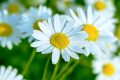 Blooming white daisy on the summer meadow background Stock Photo