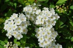 Blooming white elderflowers Stock Images