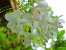 Blooming white flower Wrightia religiosa Stock Image