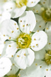 Blooming white flowers. Closeup of blooming flowers with white petals stock photography