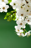 Blooming white flowers Royalty Free Stock Images