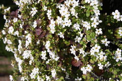 Blooming white flowers Royalty Free Stock Photography
