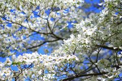 Dogwood Blooms - Colors in Nature Background - White Essence and Purity Stock Image