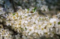 Blooming white flowers in early spring apple tree in the garden in the street Royalty Free Stock Photo