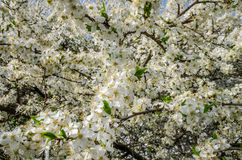 Blooming white flowers in early spring apple tree in the garden in the street Royalty Free Stock Photography