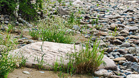 Blooming white flowers and green grass over stones. On a forest river bank Royalty Free Stock Photos