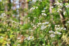 Blooming white flowers of Matricaria chamomilla Stock Image