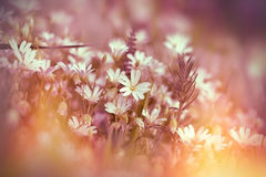 Blooming white flowers in meadow Royalty Free Stock Photo