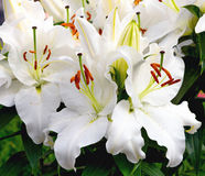Blooming white flowers oriental Lily After Eight. Close-up Stock Photo