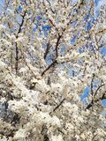 Blooming white flowers tree in the park stock image