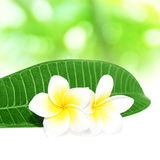 Blooming  White Frangipani tropical flowers Stock Photography