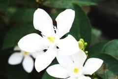 Blooming White Gardenia Flower Blossom