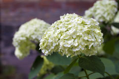 Blooming white Hortensia Stock Image