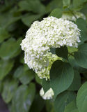 Blooming white Hortensia Stock Images