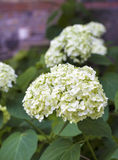 Blooming white Hortensia Stock Image