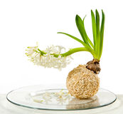 Blooming white hyacinth flower Stock Image