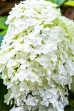 Blooming white hydrangea. Decorative plant in the garden Stock Photos