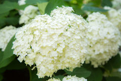 Blooming white hydrangea. Decorative plant in the garden Royalty Free Stock Photos