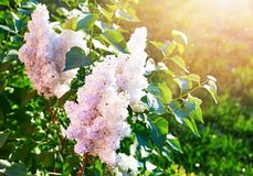 Blooming white lilac on background green lawn. With sunshine spring morning in garden gardening and floriculture stock photography