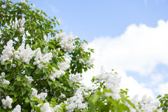 Blooming white lilac, blue skies and white clouds Stock Photo