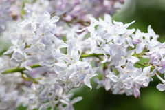 Blooming white lilac bush. Flower petals macro view. soft focus. shallow depth of field Royalty Free Stock Photography