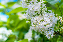 Blooming white lilac flowers - floral background with free space for text Royalty Free Stock Image