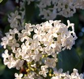 Blooming white lilac flowers in the light of the evening sun. Macro photo. Stock Photography