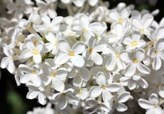 Blooming white lilac flowers. Macro photo. Royalty Free Stock Photo